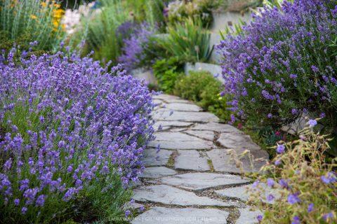 Levandule může rozzářit nejen zahradu, ale i balkon. Je čas ji namnožit na příští rok